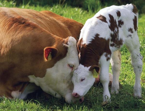 иммунитет теленка