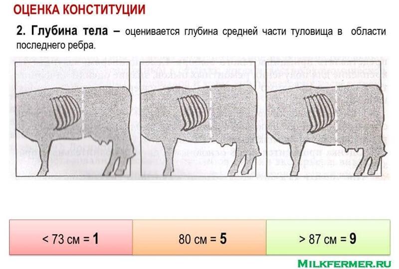 глубина тела у коровы