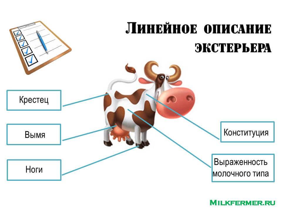 линейная оценка экстерьера коров