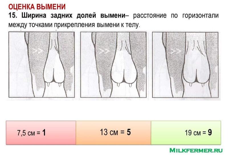ширина задних долей вымени