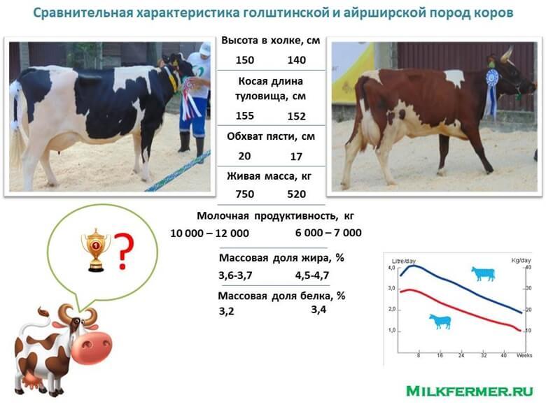 айрширская и гоштинская порода коров характеристика
