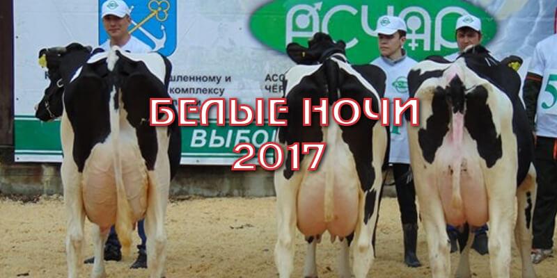 выставка коров белые ночи 2017