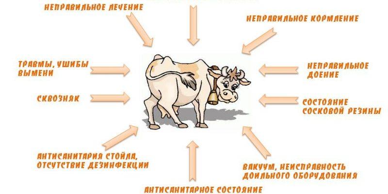 Самые распространенные причины возникновения мастита у коров