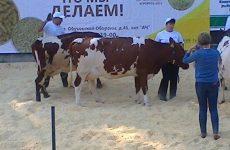 12 выставка коров «Белые ночи»