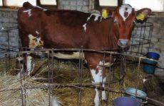 Как выбрать теленка? Отбор молодняка
