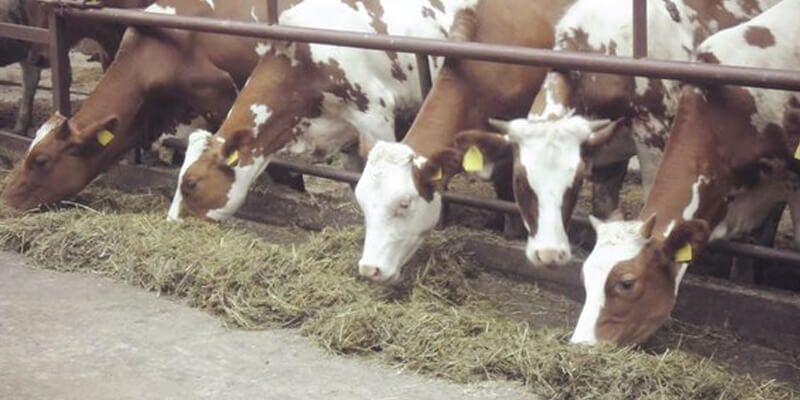 Классификация кормов. Чем кормить корову?