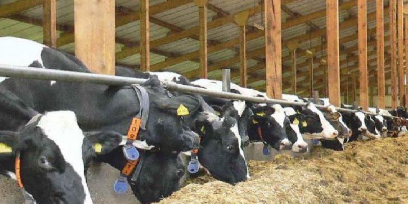 Кормление коров – наука о питании