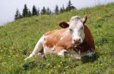 Корова на дворе – так и еда на столе
