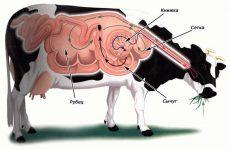 Пищеварение коровы