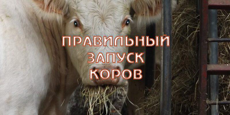 Запуск коров. Как правильно запустить корову?