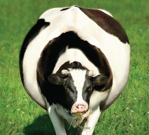 Тимпания рубца у коров: причины, первая помощь