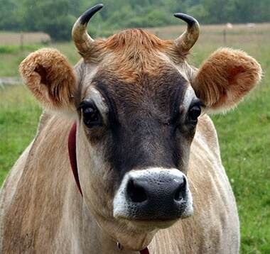 Джерсейская порода коров: характеристика, особенности