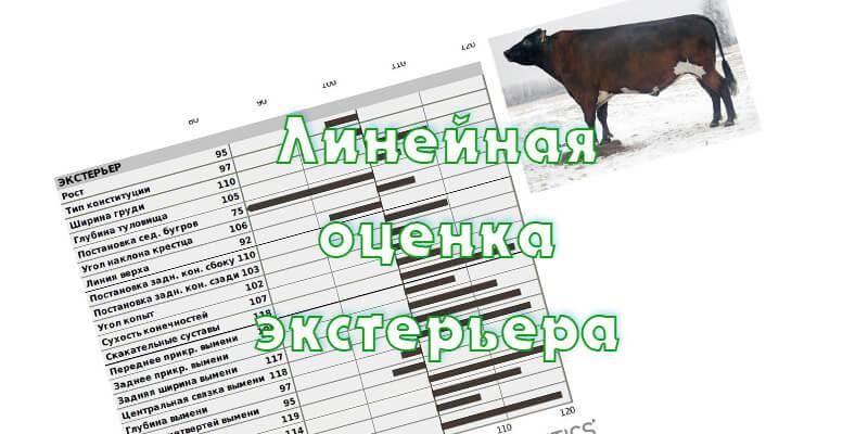 Линейное описание экстерьера коров
